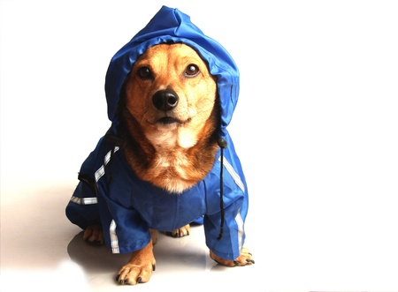 sheepdog: the blue rain dog Stock Photo