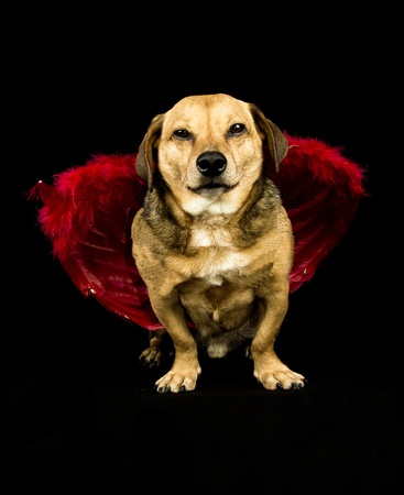 little dachshund wearing an angel costume