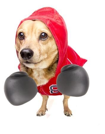 true bred: a cute dachshund fighter Stock Photo