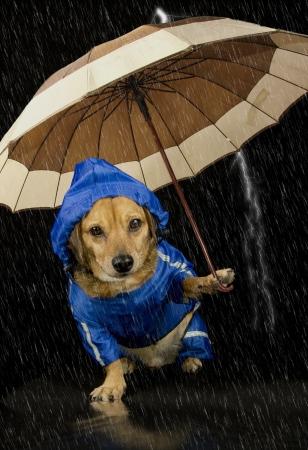 lluvia paraguas: perro azul lluvia y paraguas