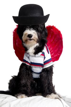 little dachshund wearing an angel costume photo