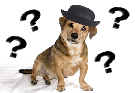 pedigree: a little dog puzzled