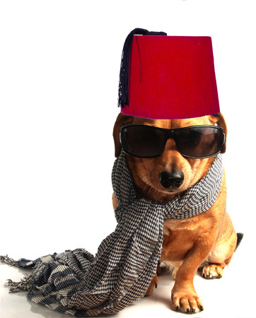 a little dachshund dog with scarf Stock Photo