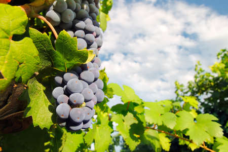 wine grape: Italian red wine grape in the time of harvest on blue sky Stock Photo