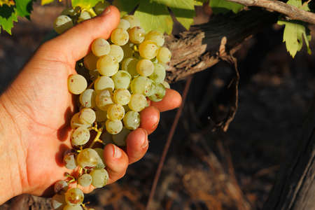 white grape: Hand taking white wine grape during harvest