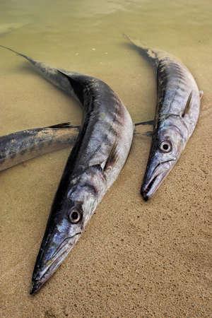 stranded: Stranded barracudas Stock Photo