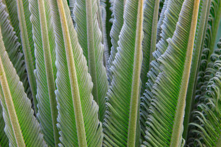 cycas: Rising leaves of Cycas plant Stock Photo