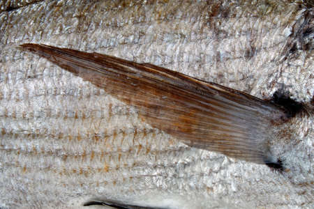 pectoral: Close up of silver scales and pectoral fin of fish