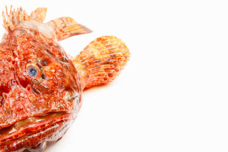trample: Mediterranean scorpion fish isolated on white