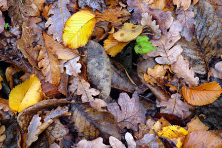 pic nic: Dry forest autumn leaves background