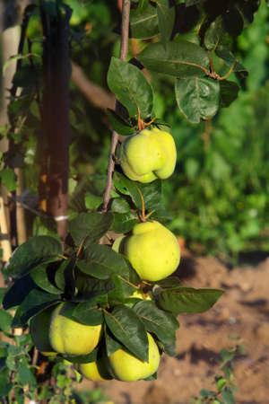 membrillo: frutas de pepita de membrillo en el campo Foto de archivo