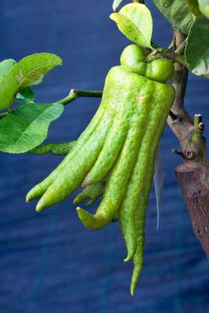 buddha hand: Strange fruit of Buddha hand cedar, Citrus medica sarcodactylus