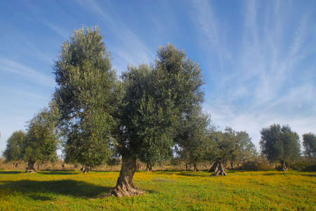 green field: Olive trees, Apulia, Italy Stock Photo
