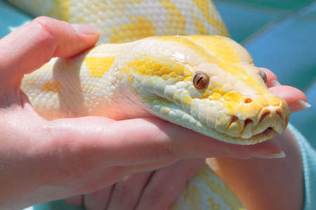 inoffensive: Big python snake in woman hands