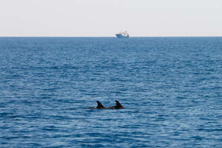 cetaceans: Couple of diving dolphins with boat on the background