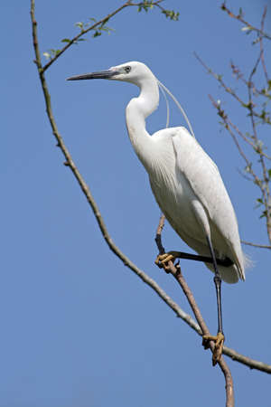 little egret standing on a branch