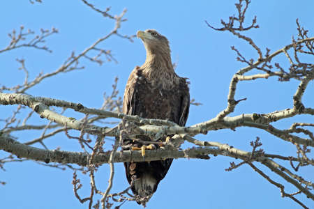 White-tailed Eagle standing on the three observing prey