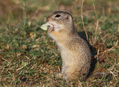 ground squirrel eating an apple