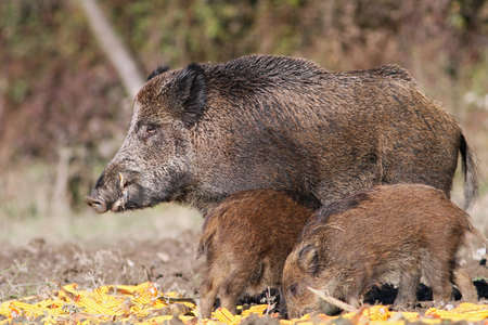 wild boar with cubs