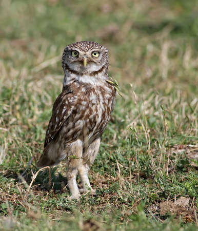 Little Owl shows off