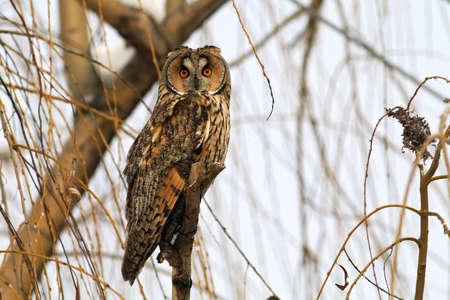 Long-eared Owl in winter time