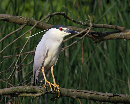 night heron sitting on the branch