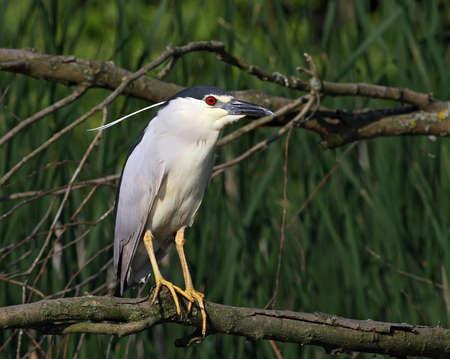 night heron sitting on the branch