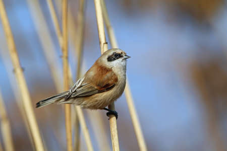 Penduline tit on reed Stock Photo
