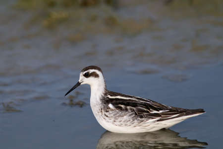 red-necked phalarope looking for food in shallow water Stock Photo