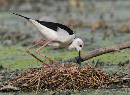 Black-winged Stilt caring eggs