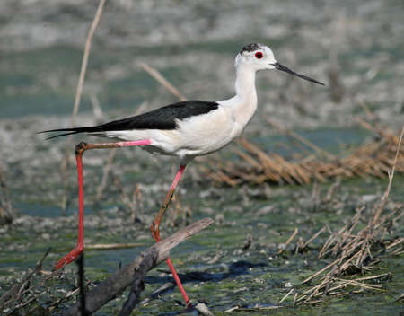 Black-winged Stilt wandering trough swamp Stock Photo
