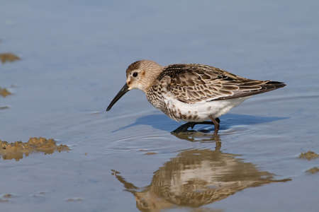 dunlin wading in shalow water