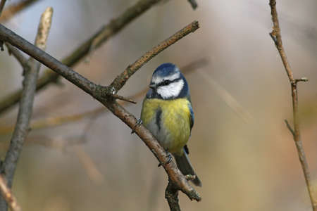 Blue tit standing on the branch