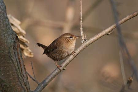 troglodytes: Winter wren standing on the branch