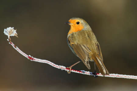European Robin on frozen branch Stock Photo