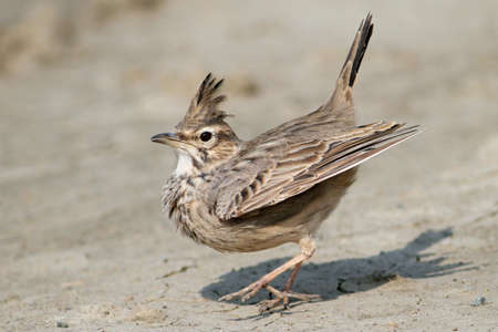 love dance of crested lark
