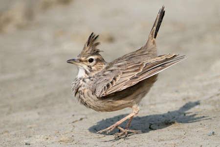 love dance of crested lark