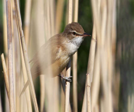 Great reed warbler hiding in the reeds Stock Photo