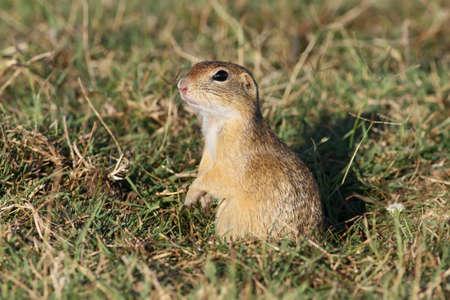European Ground squirrel observing