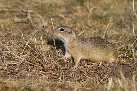 Ground squirrel observing from ground Stock Photo