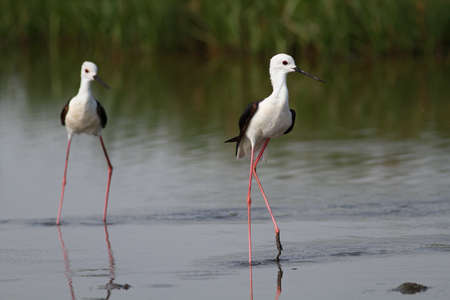 Two black winged stilts Stock Photo