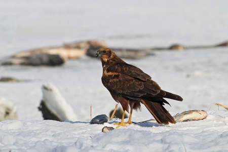 Eurasian Marsh-harrier (Circus aeruginosus) on snow