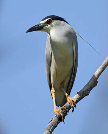 Black-crowned Night Heron standing on the branch Stock Photo