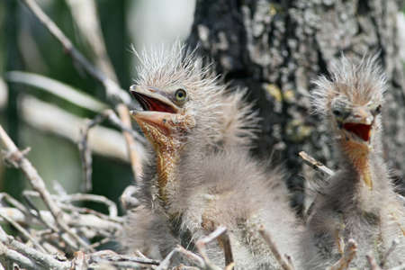 juvenile Black-crowned Night Herons Stock Photo