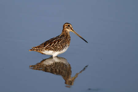 The Common Snipe in water