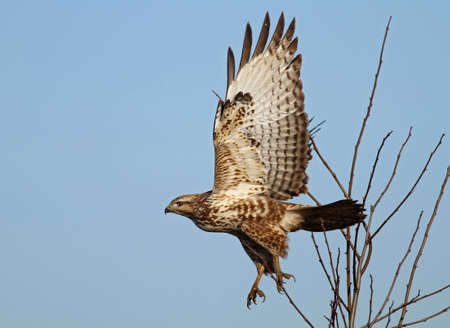 Common buzzard ( buteo buteo) flying off Stock Photo
