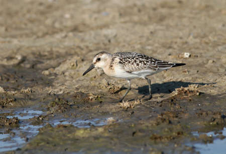 Sanderling wading along the coast