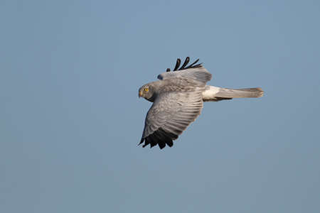 Hen harrier ( Circus Cyaneus ) in flight Stock Photo