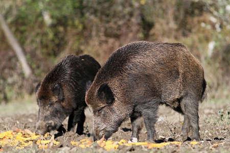 the feeding of wild boars