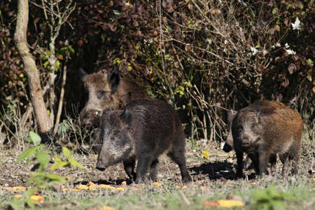 wild boars from the wood photo